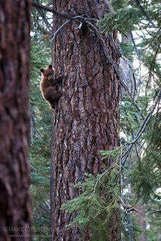 A black bear cub climbs a tree, Yosemite National Park, CA
