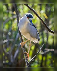 'Black-Crowned Night Heron II' from Florida Birds Collection by artist Dawn Currie featured in Art by God and Shore Birds of Florida on Fine Art America. 5x7 Note Cards $6.95 Prints available from $18. #birdart #floridabirds #birdwatching