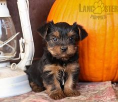 #YorkshireTerrier #Charming #PinterestPuppies #PuppiesOfPinterest #Puppy #Puppies #Pups #Pup #Funloving #Sweet #PuppyLove #Cute #Cuddly #Adorable #ForTheLoveOfADog #MansBestFriend #Animals #Dog #Pet #Pets #ChildrenFriendly #PuppyandChildren #ChildandPuppy #LancasterPuppies www.LancasterPuppies.com Puppies For Sale, Cute Puppies, Lancaster Puppies, Yorkshire Terrier Puppies, Animals Dog, Mans Best Friend, Puppy Love, Adoption, Pets