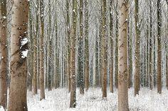 Martin Brent - Snow Trees I on www.eyestorm.com