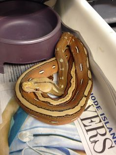 Ghost Stripe Retic