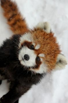 wolverxne:  Red Panda in Snow | by: (Jean-Francoys Auclair)