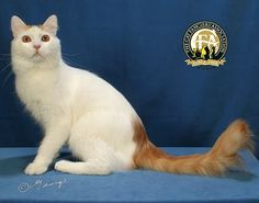 """Our April Sotlight is the Turkish Van, also know as """"the swimming cat"""". It is considered an ancient natural breed having originated in the mountainous region of Turkey Rare Cats, Cats And Kittens, Cat Meow Meaning, Turkish Van Cats, Orange Tabby Cats, Owning A Cat, Unique Cats, Cat Quotes, Cat Facts"""
