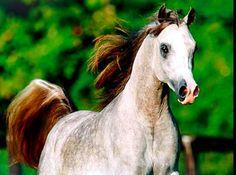 Cheval pur sang arabe 051                                                                                                                                                                                 Plus