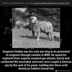 Sergeant Stubby WWI hero. A Pitt bull mix...a breed vilified today...shameful!