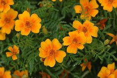Tagetes Oil, Some Uses. This is an oil that isn't as well known so check it out! Have some fun with it!