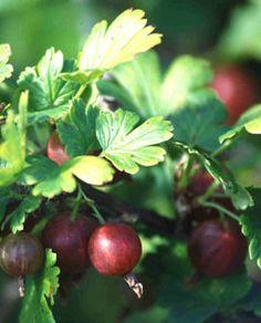 Ribes uva-crispa 'Houghton', röda krusbär. Storvuxen gammal krusbärssort. Små klarröda bär. Rikgivande men något senare än andra sorter. Gallkvalsterresistent. Zon VI.