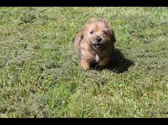 Norfolk terrier <3