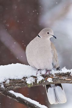 Winter Dove    A Eurasian-Collared Dove relaxes in a tree during a Colorado snow. <3 I have a pair sheltering under my eaves!  Dove cotes all around! Winter is coming and I love my new adopted couple!!!