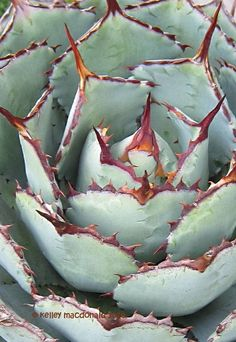 View picture of Agave, Butterfly Agave, Century Plant, Maguey 'Kichiokan' (Agave potatorum) at Dave's Garden. All pictures are contributed by our community.