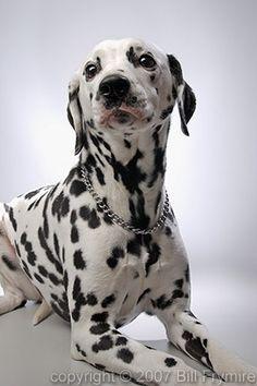 Studio portrait of black and white dalmation dog. Like Animals, Cute Baby Animals, Funny Animals, Cute Animal Pictures, Dog Pictures, Funny Dogs, Cute Dogs, Dalmatian Dogs, Dog Photos