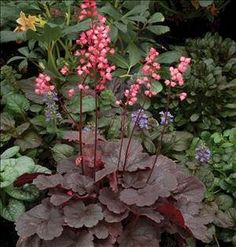 "Heuchera 'Belle Notte' 9-13"" tall. Spacing 16""; low mounding habit. Plant in sun to part shade in moist well drained soil. Stunning burgundy/black foliage and bright candy-pink, ""Femme fatale"", spikes of flowers.  It is the longest blooming coral bell, blooming from May-Sept. Very lush, dark foliage with all of 'Obsidian's' great heat tolerant attributes."