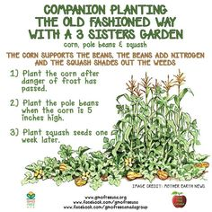 Companion gardening.  Plant corn first. When corn is 5 in high, plant  pole beans. About a week later, plant squash seeds. The corn supports the beans. Beans provide nitrogen. Squash keeps moisture in and shades weeds.