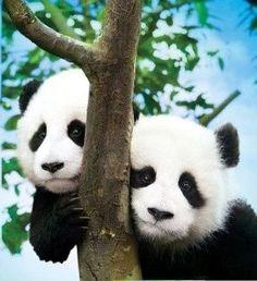 Cute Pandas xD
