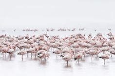 Flamingos on the shores of the Namibian Coast in the shallow waters of Walvis Bay having a rest
