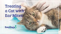 We all know that cats are prone to getting fleas, but did you know that they are also at risk for developing ear mites? In fact, most ear mites are found in cats, but they can also be found in dogs. Cat Care Tips, Pet Care, Funny Animal Videos, Funny Animals, First Time Cat Owner, Diy Cat Toys, Animal Crackers, Cat Facts, Pet Lovers