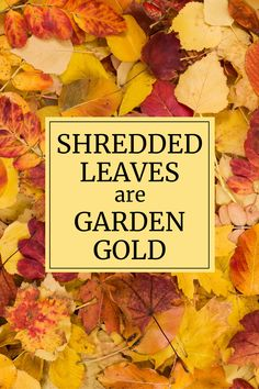 Raking leaves may not be your favorite thing to do on a beautiful fall day. But rather than thinking of it as a chore, think of it as harvesting! For gardeners, shredded leaves are the season's most valuable crop. Read on to learn how you can use this free and abundant resource to improve the health and beauty of your garden.
