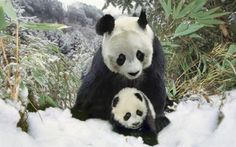 Image: Mother panda and cub (Ailuropodinae melonoleuca), winter (© Keren Su/Photodisc/Getty Images)