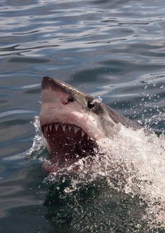 A great white shark in Gansbaai, South Africa