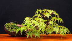 JP: Japanese Maple (Acer palmatum)  Height: 14 cm, 5.5 inches