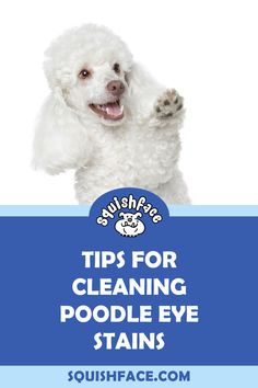 Poodle eye stains can just be cosmetic or they can be a sign of an underlying dog eye health issue. Learn what to look for when your Poodle has watery eyes, when to act, and learn dog tear stain remedies and easy dog tear stain removal tips including for white dog eye stains. Learn more for keeping your poodle eye health on the up and up as well as easy and effective tear stain removal for a beautiful poodle face. | Squishface Dog Care Products Tear Stain Removal, Dog Tear Stains, English Bulldog Care, Wrinkle Dogs, Dog Grooming Tips, Dog Cleaning, Watery Eyes, Dog Health Care, Dog Eyes