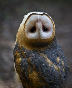 Barn Owl, a little topsy turvy