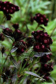 greenreblooming:  plants for florescence_ruby red shades: Dianthus barbatus'Sooty', sweet william, œillet de poète,bartnelke *photo 06 june 2015