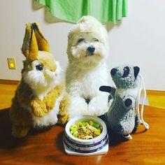 ⚓︎ ましろが老けました…… 主人が出張で 今日もさみしくひとりごはん😭 哀愁が漂います ⚓︎ #犬 #愛犬 #マルチーズ #癒しわんこ #ふわもこ部 #犬バカ部 #いぬら部 #pecoいぬ部 #Maltese #cute #dog #love #pup #pet #animal #dogstagram #lovedogs  #instadog #instagood #like #happy #animal #instapic #kaumo #inumatome