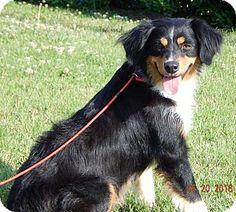 SUSSEX, NJ - Australian Shepherd. Meet Bretta(38 lb) Awesome Dog!, a puppy for adoption. http://www.adoptapet.com/pet/15958475-sussex-new-jersey-australian-shepherd
