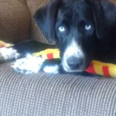 Meet MOLSON - 11mo - too sweet!, a Petfinder adoptable Black Labrador Retriever Dog | Whitby, ON | Please fill out an application form before calling or emailing questions....