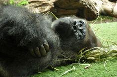 Sad gorilla, Loro Park