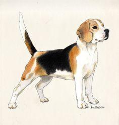hellobea: beagle #illustration #drawing #colouredpencils #dog #beagle