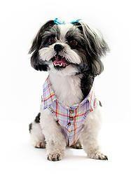 CAMISA FRESH PET  SHIRT FOR PET #cacaudresspet cacau-dress-pet-roupa-pets-cachorro-gatos-camisas-pet-nova-petrópolis-rio-grande-do-sul-animais-de-estimação-comprar