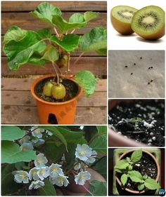 Growing Vegetables Grow Kiwi From Seeds Instructions - Gardening Tips To Regrow Fruit Trees From Seeds and Scraps Yourself, Grow your own Pinapple, Avocado, Apple, Lemon and Kiwi Trees from Kitchen scraps. Veg Garden, Fruit Garden, Edible Garden, Garden Plants, House Plants, Bamboo Garden, Flowers Garden, Garden Water, Water Plants