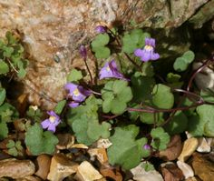 Muurleeuwenbek, Ivy-leaved toadflax, aka  Kenilworth Ivy. Is it edible? Find out how to use it and waht bebefits this wild edible has.
