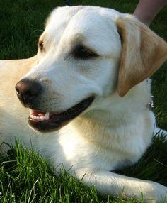 Sadie (Ellie's neighbor lab)