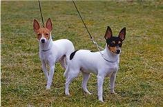 ***PUPPIES ARE HERE *** We have a rare opportunity for someone wishing to own this wonderful new breed into the uk. We imported our first American Toy Rare Dog Breeds, Pet Breeds, Small Dog Breeds, Small Breed, Toy Fox Terrier Puppies, Rat Terriers, Terrier Mix, Miniature Fox Terrier, Smooth Fox Terriers
