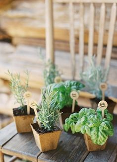 Mini potted herb wedding favors.  also use on tables for pizza reception
