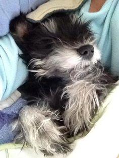 Sleepy schnauzer Greta Photo by: Jeanne Peloquin