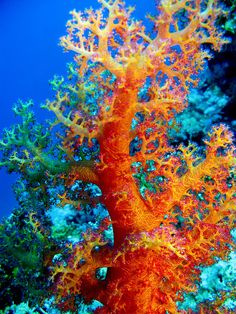 #Coral / Red Sea, Egypt #orange