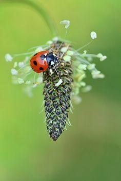 Ladybird on Ribwort