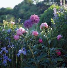 'Sarah Bernhardt' peonies coincides with that of the blue irises in front, purple allium behind,
