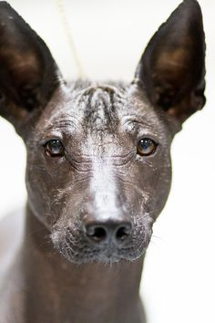 Xoloitzcuintli Zoo Animals, Animals And Pets, Cute Animals, Sphynx, Mexican Hairless Dog, Unusual Dog Breeds, Rare Dogs, Inka, Chinese Crested Dog