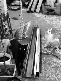 Mis gatos Maximus, Cthulhu y Hastur // My cats Maximus, Cthulhu and Hastur