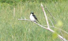 Tree Swallow 5/24/12