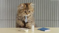 New trending GIF on Giphy. cat business office. Follow Me CooliPhone6Case on Twitter Facebook Google Instagram LinkedIn Blogger Tumblr Youtube