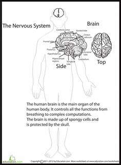 Worksheet Human Anatomy Worksheets human anatomy and worksheets on pinterest science brain
