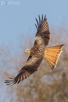 The Red Kite (Milvus milvus) is a medium-large bird of prey in the family Accipitridae, which also includes many other diurnal raptors such as eagles, buzzards, and harriers. The species is currently endemic to the Western Palearctic region in Europe and northwest Africa, It is resident in the milder parts of its range in western Europe and northwest Africa. Vagrants have reached north to Finland and south to Israel, Libya and Gambia by marissa