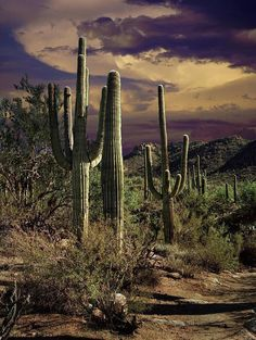 Sonoran desert.  Saguaro Cactuses in Saguaro National Park - Tuscon AZ..... Relax with this nature photo. #Relax more with this #free #music with #BinauralBeats that can #heal you. #landscaping #LandscapingIdeas #landscapeDesign