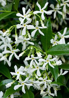 ~Trachelospermum jasminoides, star jasmine. Tree Circle, star jasmine as a ground cover